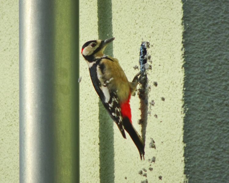 Why Woodpeckers Love Siding and How to Prevent Them from Destroying Your House